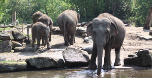 Group elephants Stock Images