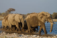 A Group of Elephants at waterhole Royalty Free Stock Photos