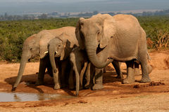 Group of elephants at a watering hole. Group of elephants drinking at a watering hole royalty free stock photography