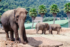 A group of elephants in a zoo Royalty Free Stock Images