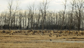 A group of Elk in elk refuge at Dafeng coastal beach,China. Royalty Free Stock Photography