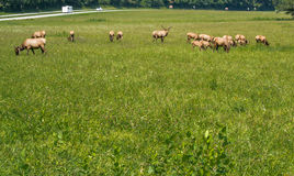 Group of Elks Graze in Great Smoky National Park Royalty Free Stock Photography