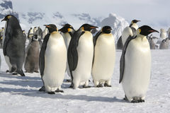 Group of Emperor penguins. Coulman Island Antarctic Stock Photo
