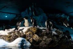 A group of emperor penguins Aptenodytes forsteri stock photos