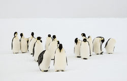 Group of emperor penguins. A group of emperor penguens grooming their feathers Royalty Free Stock Images