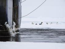 Emperor penguins near a ship. Group of emperor penguins standing near a ship Royalty Free Stock Image
