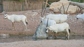 A group of Endangered Arabian or White Oryx Oryx leucoryx stands next to a water hole in the desert in the United Arab Emirates. UAE stock footage