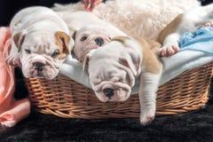 Group of English bulldog puppies Royalty Free Stock Photos