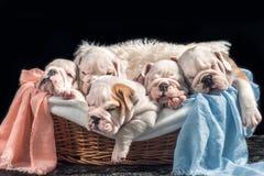 Group of English bulldog puppies Royalty Free Stock Images