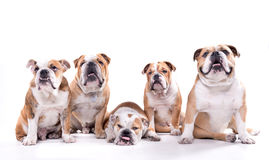Group of english bulldogs Stock Photo