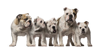 Group of English Bulldogs Royalty Free Stock Image