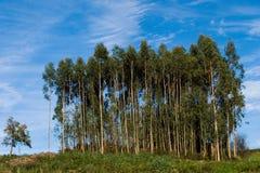 Group of eucalyptus. Small plantation of young eucalyptus Royalty Free Stock Photos