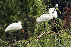 Group of Eurasian spoonbill (Platalea leucorodia), animal scene Royalty Free Stock Photos