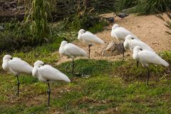 A group of Eurasian Spoonbill - Platalea leucorodia - resting. A group of Eurasian Spoonbill Platalea leucorodia resting with their heads under the wings stock photo