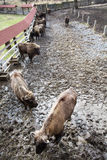 Group of European bison in the fenced paddock Royalty Free Stock Photos