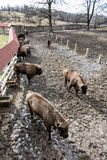 Group of European bison in the fenced paddock, animal theme Stock Images