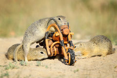 Group of european ground squirrels and wooden bike toy Stock Image