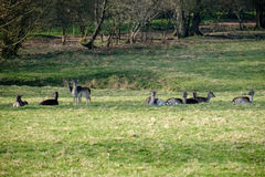 Group of European Roe Deer stock photography