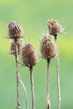 Group of faded thistle Royalty Free Stock Image