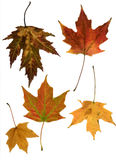 Group of fall leaves. Red, orange, yellow and green maple leaves in autumnal colors stock photo