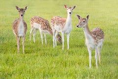 Group of Fallow Deer. In evening light - horizontal image stock photos
