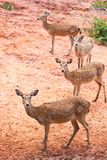 Group of Fallow deer Royalty Free Stock Image