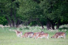 Fallow Deer Dama dama Stock Photography