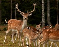 A group of fallow deer, with doe, fawn and buck in a forest in Sweden. The fallow deer, Dama dama is a ruminant mammal belonging to the family Cervidae. This royalty free stock photography