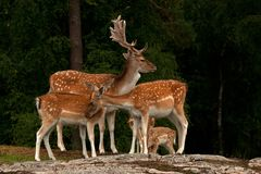 A group of fallow deer, with doe, fawn and buck in a forest in Sweden. The fallow deer, Dama dama is a ruminant mammal belonging to the family Cervidae. This royalty free stock image