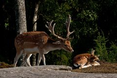 A buck fallow deer, with resting buck fawn in a forest in Sweden. The fallow deer, Dama dama is a ruminant mammal belonging to the family Cervidae. This common stock images