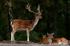 A group of fallow deer, with doe, fawn and buck in a forest in Sweden. The fallow deer, Dama dama is a ruminant mammal belonging to the family Cervidae. This royalty free stock images