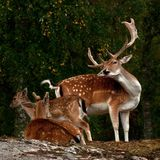A group of fallow deer, with doe, fawn and buck in a forest in Sweden. The fallow deer, Dama dama is a ruminant mammal belonging to the family Cervidae. This royalty free stock photo