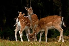 A group of fallow deer, with doe, fawn and buck in a forest in Sweden. The fallow deer, Dama dama is a ruminant mammal belonging to the family Cervidae. This stock image