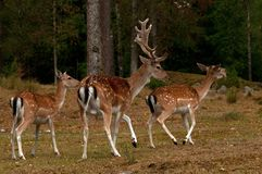 A group of fallow deer, with doe, fawn and buck in a forest in Sweden. The fallow deer, Dama dama is a ruminant mammal belonging to the family Cervidae. This stock images