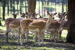 Group of fallow deer does Stock Images