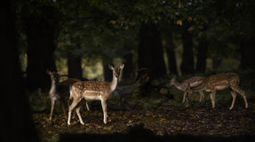 Group of fallow deer in the forest Royalty Free Stock Image