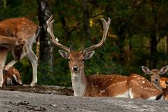 A group of fallow deer, in a forest in Sweden royalty free stock photography