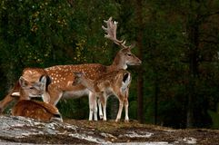 A group of fallow deer, in a forest in Sweden stock photo