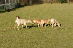 Group of Fallow deer grazing stock photography