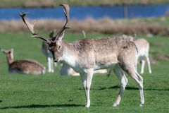 A group of Fallow deer in a meadow stock image