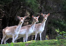 Group of Fallow Deer. Group of three fallow deer in New Zealand stock photos