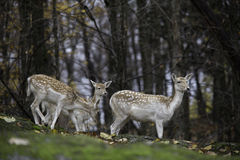 Group of fallow deer in the woods Royalty Free Stock Image