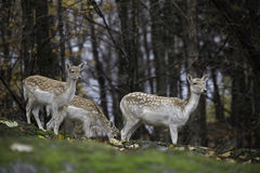 Group of fallow deer in the woods Stock Photography