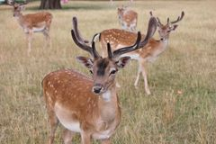 Group fallow stag deer look to camera. Fallow deer stags group in clearing looking at the camera with antlers royalty free stock photos