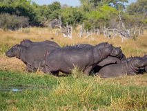 Group or family of hippos laying and grazing on grass close to river,Safari in Moremi NP, Botswana, Africa Stock Images