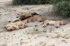 Group, family sleeping lioness in the African savannah Royalty Free Stock Photos