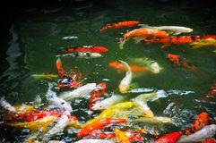 Group of fancy carp or Colorful koi carps swim in clear waters Stock Images