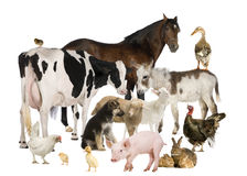 Group of Farm animals. In front of white background Royalty Free Stock Photography
