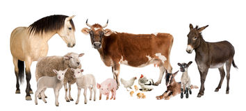 Group of farm animals : cow, sheep, horse, donkey,. Chicken, lamb, ewe, goat, pig in front of a white background stock image