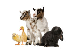 Group of farm animals. Isolated on white Stock Image